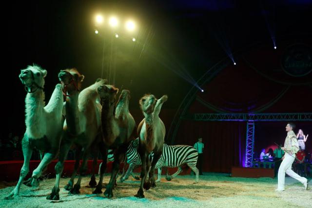 teve_zebra_richter_florian_cirkusz